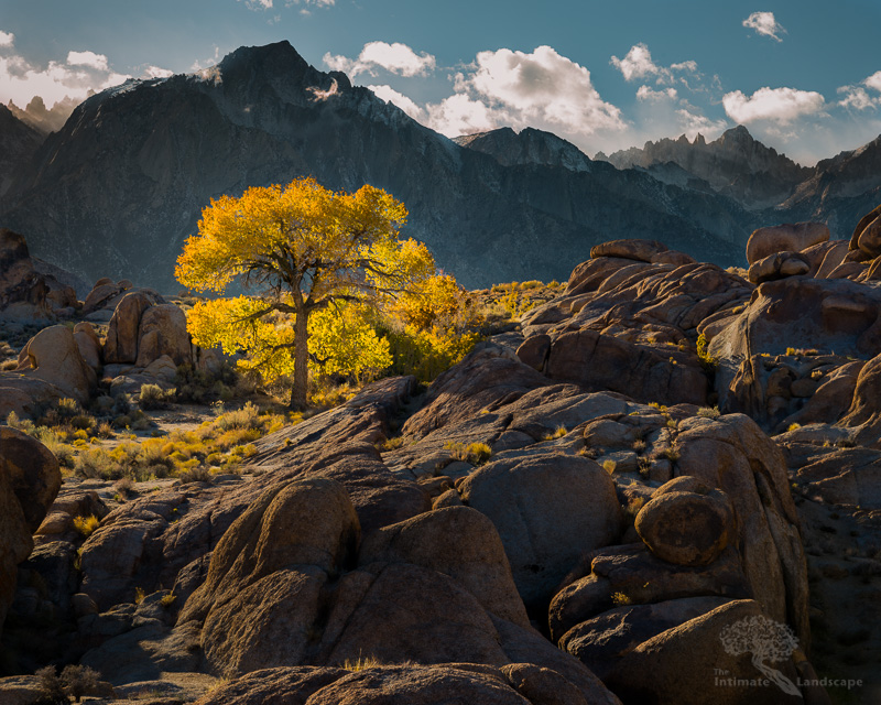 Mountain Cottonwood