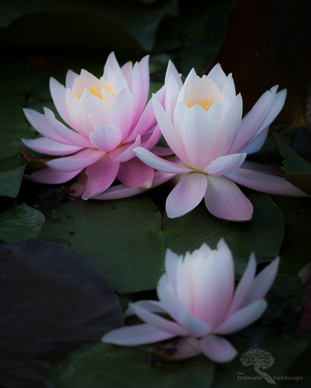 Water-Lillies.jpg